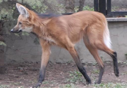 Московский зоопарк: Гривистые волки